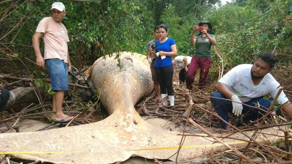 How a dead humpback whale ended up in a mangrove forest
